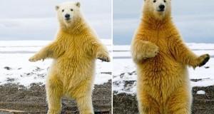 Dança do Urso 2