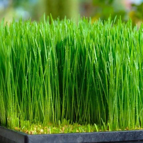 grama de trigo wheatgrass
