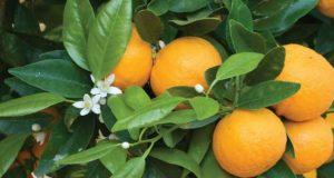 Folha de laranjeira