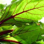 7 Benefícios da Folha de Beterraba - Para Que Serve e Propriedades