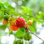 Chá de Folha de Pitanga Emagrece? Para Que Serve, Benefícios e Como Fazer
