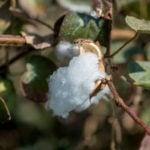 folha de algodão