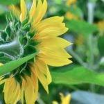 Folha de Girassol Emagrece? Para Que Serve, Benefícios, Chá e Dicas