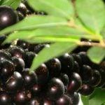 Chá de Folha de Jabuticaba - Para Que Serve, Benefícios e Como Fazer