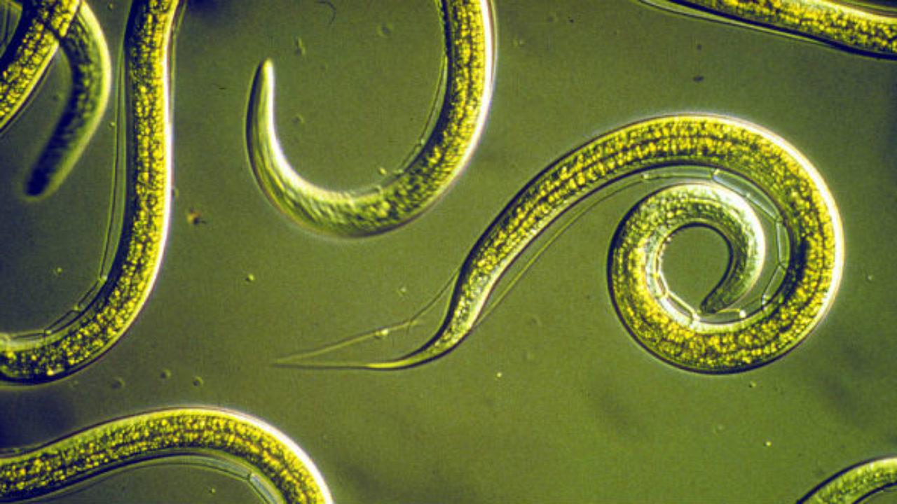 parasita giardia sintomas de diabetes