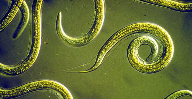 vermes em humanos sintomas de diabetes