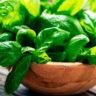 13 benefícios da alfavaca - Para que serve, chá e como usar