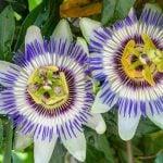 10 Benefícios da Passiflora - Para Que Serve, Efeitos Colaterais e Indicações