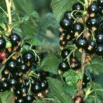 16 Benefícios da Groselha Negra - Para Que Serve e Efeitos Colaterais