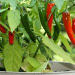 Como Plantar Pimenta em Casa - 10 Passos e Cuidados