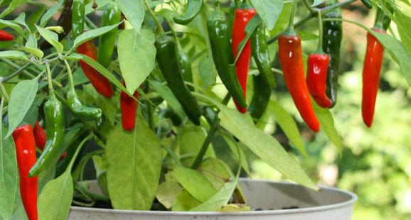 Plantar pimenta em casa