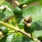 Chá de Broto de Goiaba - Para Que Serve e Como Fazer