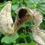 Calunga Planta Emagrece? Para Que Serve?