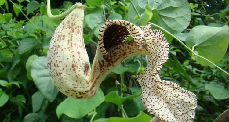 Calunga planta