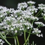 Como Plantar Erva-Doce em Casa - Passo a Passo e Cuidados