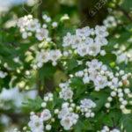 5 Benefícios do Espinheiro-Branco - Para Que Serve e Propriedades