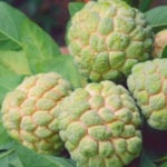4 Benefícios da Fruta Condessa - Para Que Serve e Propriedades