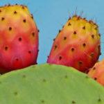6 Benefícios da Fruta de Palma - Para Que Serve e Propriedades