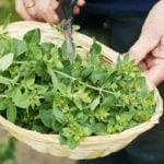 Como Plantar Orégano em Casa - Passo a Passo e Cuidados