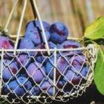 Como Plantar Ameixa em Casa - Passo a Passo e Cuidados