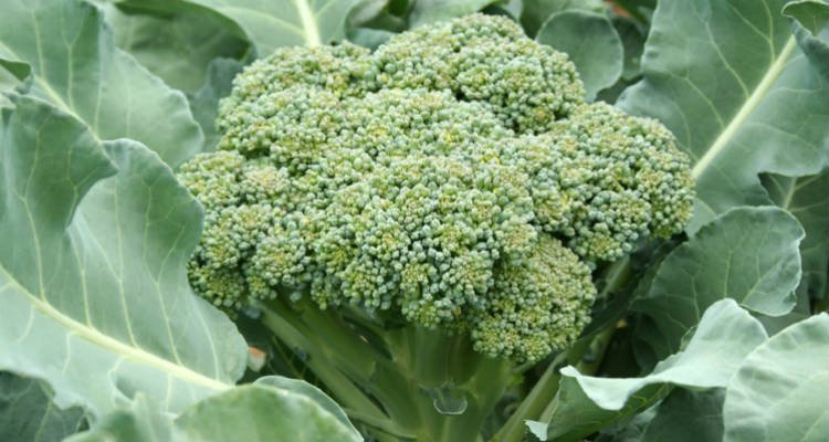 Plantar brócolis