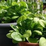 Como Plantar Espinafre em Casa - Passo a Passo e Cuidados