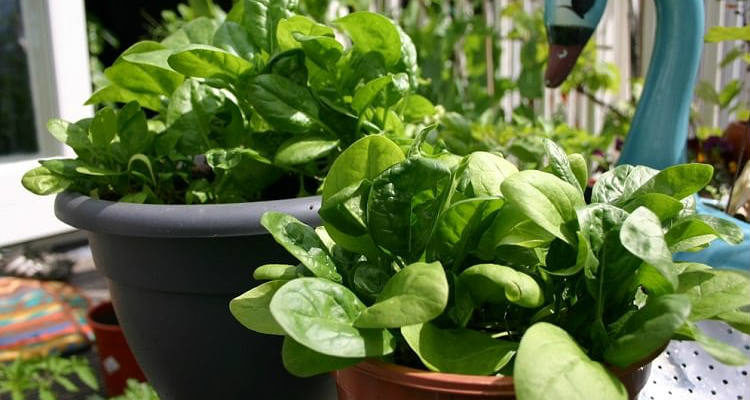 Plantar espinafre