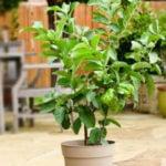 Como Plantar Goiaba em Casa - Passo a Passo e Cuidados