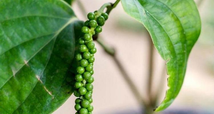 Plantar pimenta-do-reino