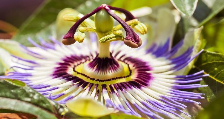 Passiflora do Pasalix