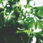 Plantar cheiro verde