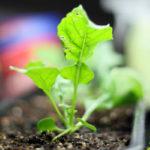 Como Plantar Rúcula em Casa - Passo a Passo e Cuidados