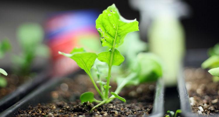 Plantar rúcula em casa