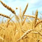 O Glúten Pode Não Ser o Único Impedimento Para Consumir Trigo
