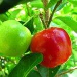 Como Plantar Acerola em Casa - Passo a Passo e Cuidados