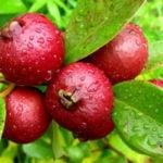 6 Benefícios do Araçá - Para Que Serve e Propriedades