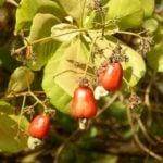Como Plantar Caju em Casa - Passo a Passo e Cuidados