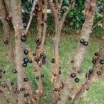 Como Plantar Jabuticaba em Casa - Passo a Passo e Cuidados