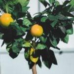 Como Plantar Laranjeira em Casa - Passo a Passo e Cuidados