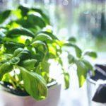 Como Plantar Manjericão em Casa - Passo a Passo e Cuidados