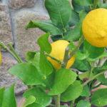 Como Plantar Limão em Casa - Passo a Passo e Cuidados