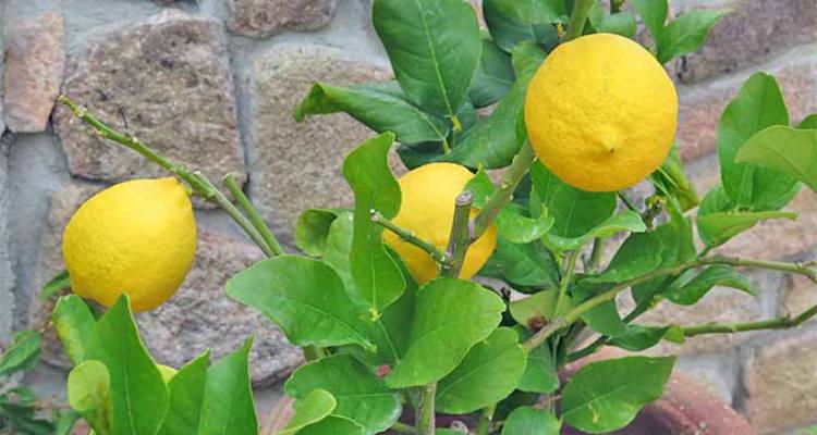 Plantar limão