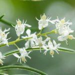 Shatavari - Para que serve e efeitos colaterais