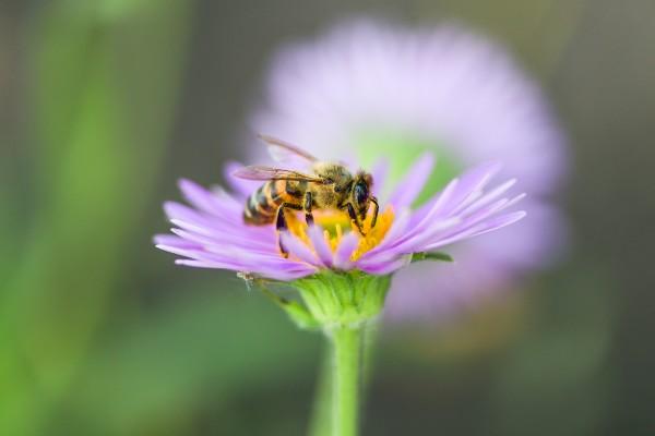 abelha-coletando-pólen-na-flor