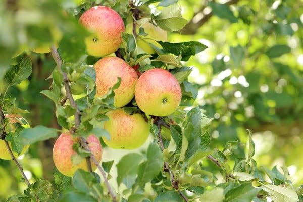 Cómo plantar manzana