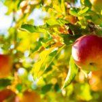 Como plantar maçã em casa - Passo a passo e cuidados