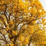 Pau d'arco - Benefícios e efeitos colaterais