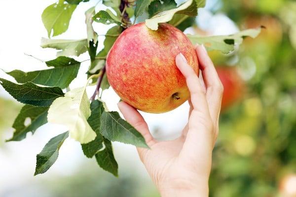 Planta de manzana