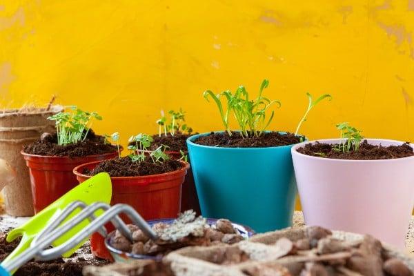 Como plantar salsinha em vasos