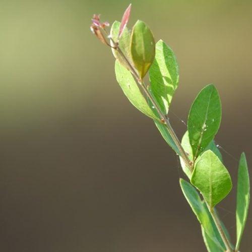 Erva tostão